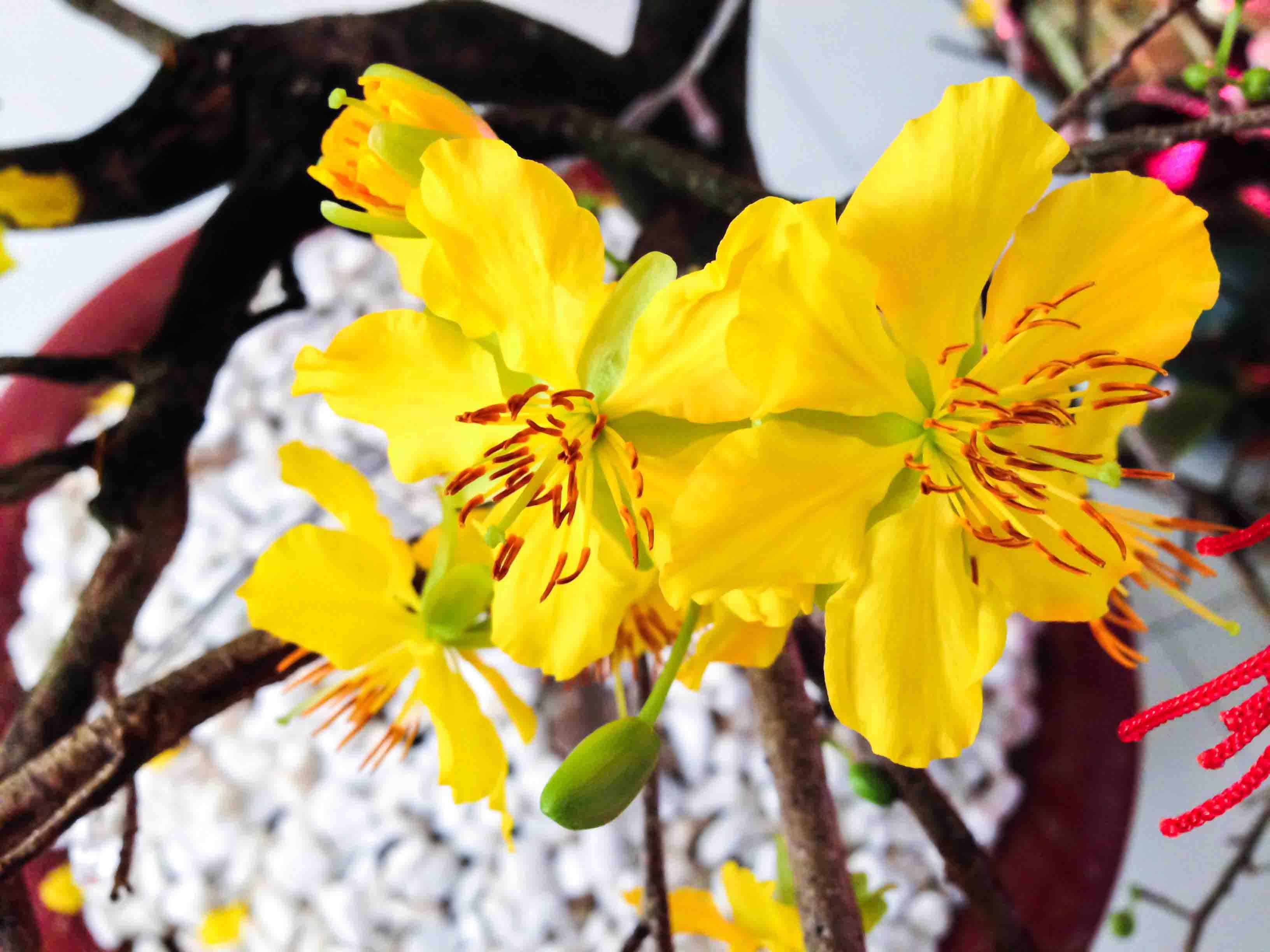 Hình ảnh hoa Mai - Tổng hợp những hình ảnh hoa Mai đẹp nhất